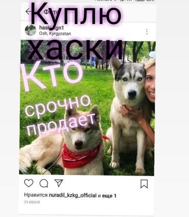 Куплю собаку или щенка хаски немецкая в Бишкек
