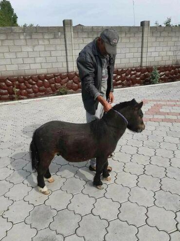 животный-с в Кыргызстан: Пони жеребец 2 года рост 63 см. whatsapp