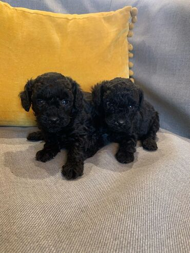 K.C reg Black Toy Poodle κουτάβια.Οι γονείς είναι αληθινό παιχνίδι