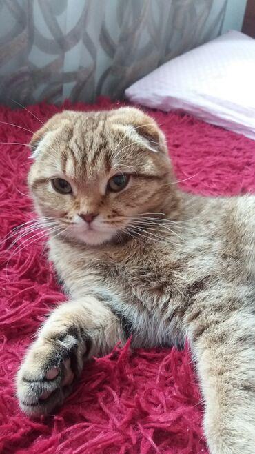 ищу кошку в Кыргызстан: Продаю шотландскую кошку,3 года