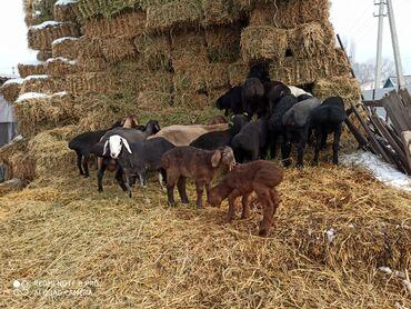 Продаю | Овца (самка), Ягненок | Гиссарская, Полукровка, Арашан | Для разведения | Котные, Матка, Ярка
