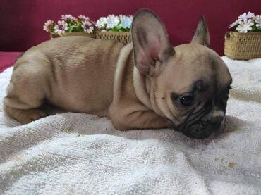2098 oglasa   KUĆNI LJUBIMCI: Prodaju se štenci FRANCUSKOG BULDOGA. Stenci imaju 8 nedelja - 3