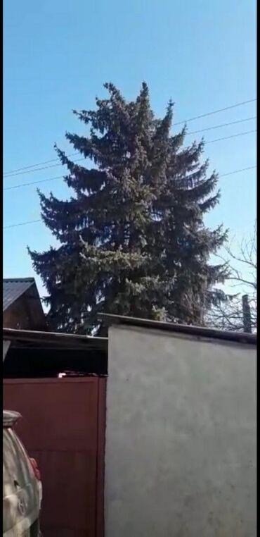 сибирский ель в Кыргызстан: Продаю зелёную ель около 15 метров высоты прошу 20000 тыс самовывоз