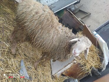 Бараны, овцы - Порода: Другая порода - Бишкек: Продаю | Баран (самец) | Для разведения | Осеменитель
