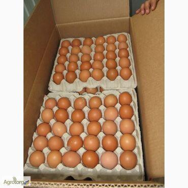 ferrari 308 gt4 в Кыргызстан: Инкубационные яйца бройлера росс 308