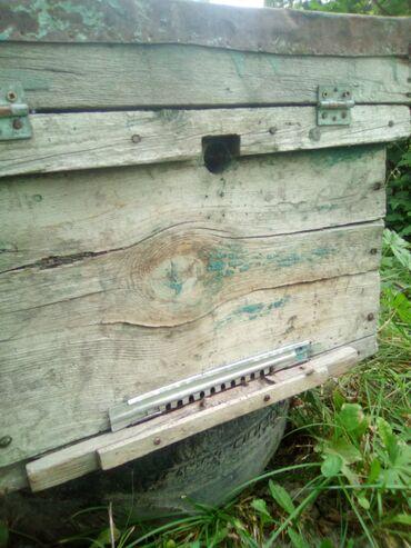 Другие животные - Беловодское: Небольшая пчелиная семья на восемь рамок. Карпатка. Вместе с ульем