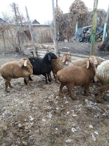 Продаю | Овца (самка) | Гиссарская, Арашан | Для разведения | Племенные, Ярка