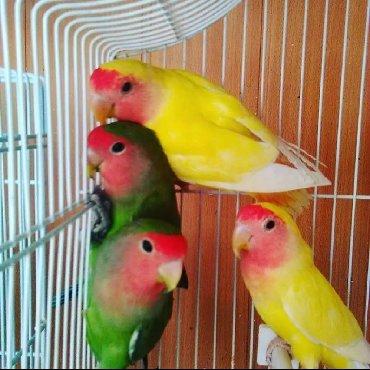 Попугаи неразлучники а так же есть другие виды тоже Волнистые