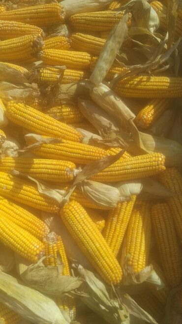 Куплю кукурузу в початках в любом объеме