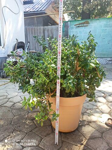 Продается денежное дерево В большом дорогом горшке, дереву около 6 лет