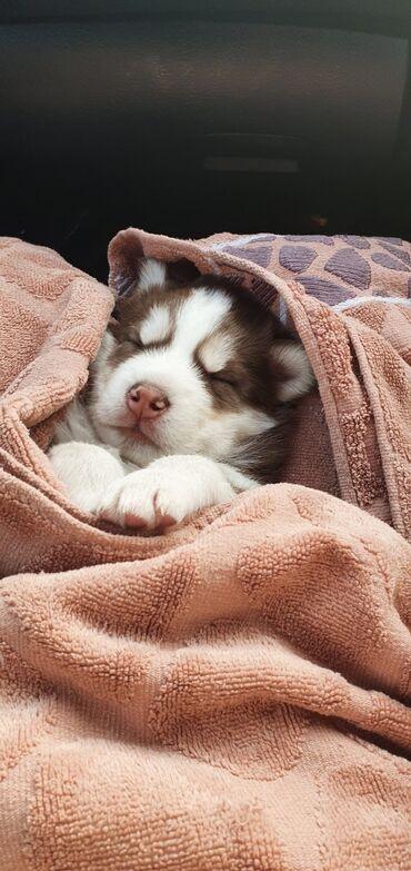 сибирский ель в Кыргызстан: Продаётся щенок сибирской хаски 09.12.20мальчик окрас шоколадный