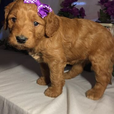 Golden doodles puppies Both genders available, vaccinated and wormed