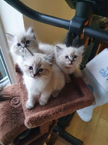 Πανέμορφες γάτες Ragdoll προς πώληση τώραWhatsapp . + Ή Viber