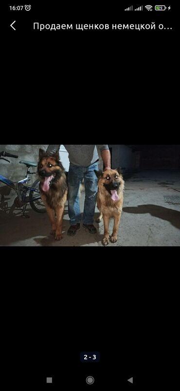 194 объявлений | ЖИВОТНЫЕ: Продам щенка немецкой овчарки.девочка