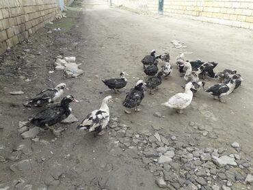 Животные - Остров Хазар: Птицы