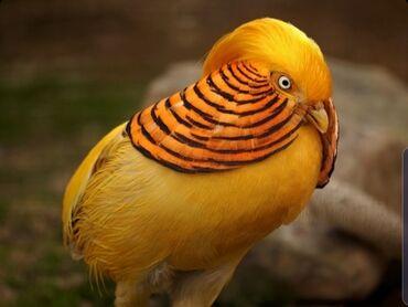 21 объявлений   ЖИВОТНЫЕ: Лимонные и Золотые фазаны, уже дали потомство