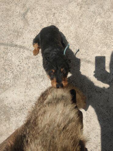 Животные - Бишкек: Жесткошерстный ягтерьер сука возрас 1,7 месяцев, документы есть