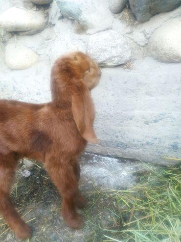 Куплю козу дойную - Кыргызстан: Продаю   Коза (самка)   Битал