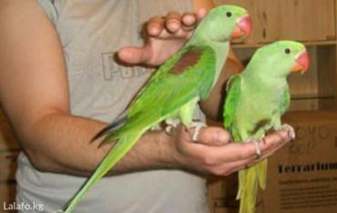 Александрийские попугаи для обучения к разговору. в Кок-Ой