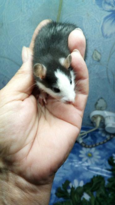 Крысы в Кыргызстан: Декоративные крысята