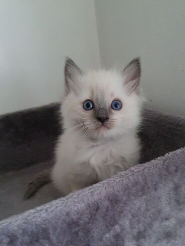 Καθαρά σκωτσέζικα γατάκια πτυσσόμενα προς πώληση 11 εβδομάδων τώρα με