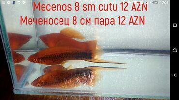 Z 5 - Azərbaycan: Mecenos 8 sm cutu 12 aznмеченосец 8 см пара 12