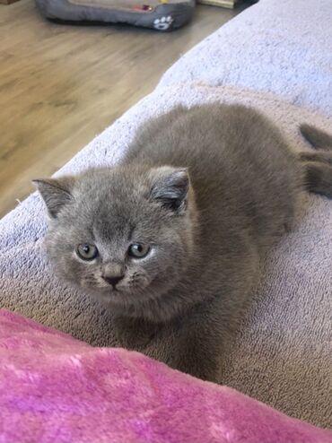 Βρετανικά γατάκια Shorthair για υιοθεσία WhatsApp me +33 Βρετανικά