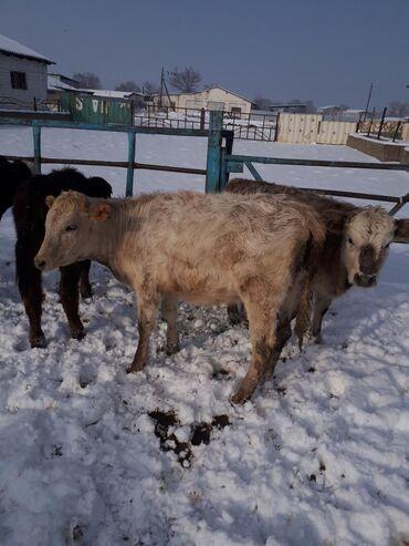 животн в Кыргызстан: Телок на откорм есть на племя 7-8месяцев