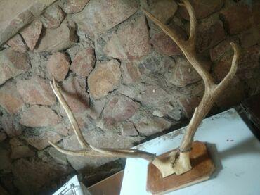 работа в чолпон ате 2020 официант в Кыргызстан: Рога оленя с лобной костью натуральные в Чолпон ате