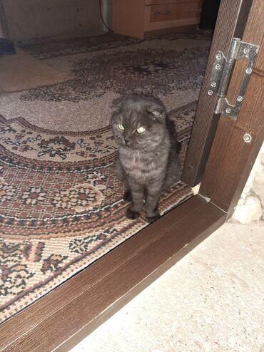 ищу кошку в Кыргызстан: Срочно продаю вислоухую кошку ходит в лоток живёт в доме