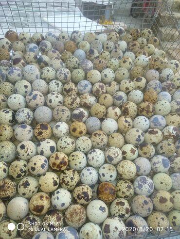 - Azərbaycan: Bildirçin yumurtasıHəm yemək,həm də inkubator üçün bildirçin yumurtası