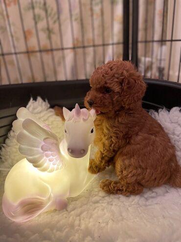 Μίνι κουτάβια Poodle προς πώλησηΚουτάβια Mini Poodle διαθέσιμα για