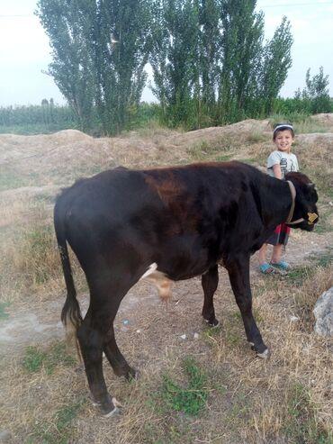 С/х животные - Кара-Суу: