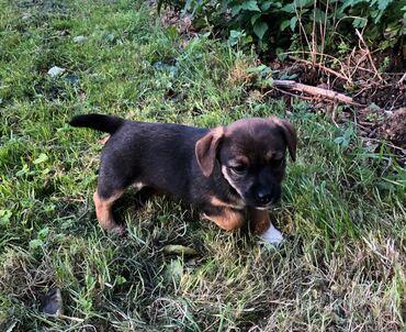 Border Terrier κουτάβια έτοιμα τώρα Whatsapp . +  Προς πώληση Border