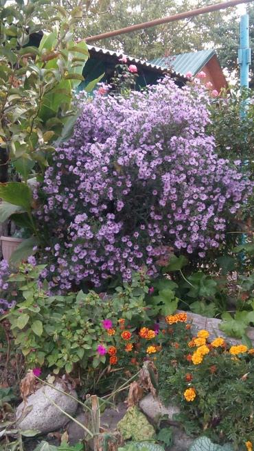 Цветы для сада, сентябринка, многолетник, цена за небольшой куст в Бишкек