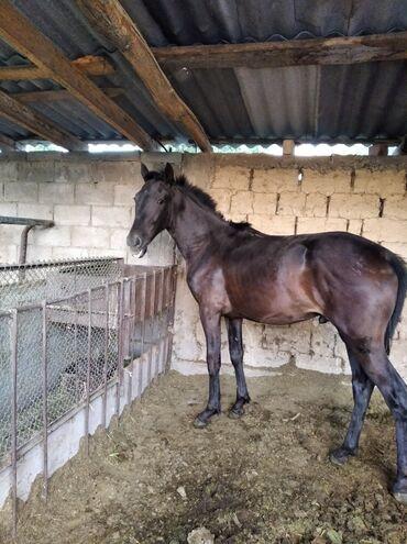 С/х животные в Кыргызстан: Тай жеребчик возраст 1,1 год рост 1.43 м. есть кровь американского
