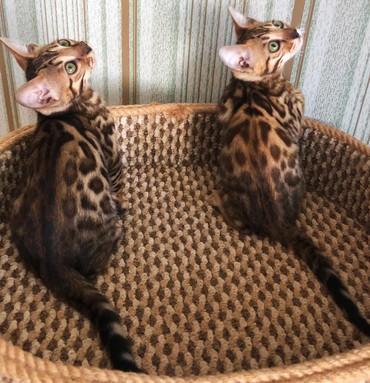 Коты - Кок-Ой: Бенгальские детки будут вас радовать всегда своим мурлыканьем и