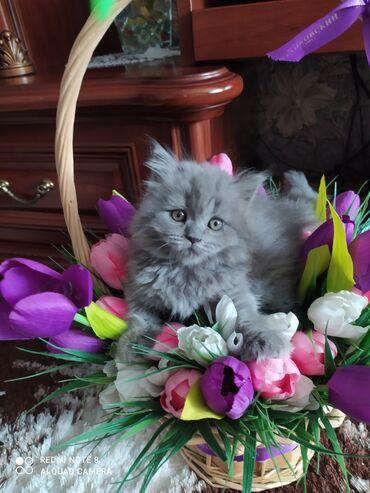 британский короткошерстный котенок в Кыргызстан: Готова к продаже чистокровная Британская хайленд плюшевая девочка