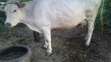 Животные - Кызыл-Туу: Продаю | Телёнок | Швицкая