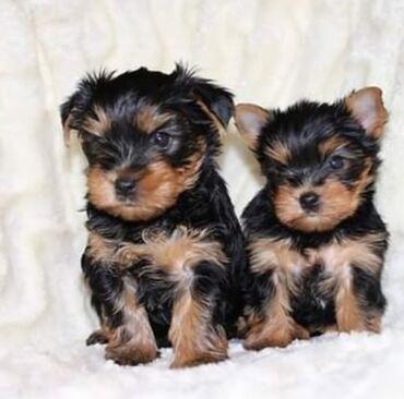 Για σκύλους - Αθήνα: Yorkshire puppies Potty trained, vaccinated and wormed, both genders