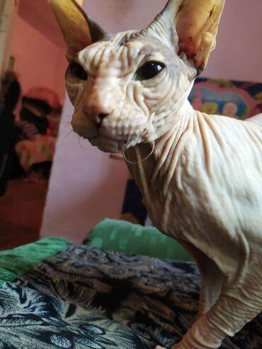ищу кошку в Кыргызстан: Продаю кошку сфинкса Девочка, очень ласковая и спокойноя. Цена 1700с,м