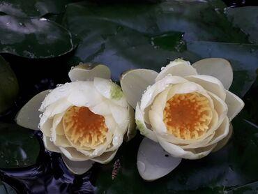 Семена и уличные растения - Сокулук: Продаю кувшинки(нимфеи)для пруда бассейна,многолетние самовывоз
