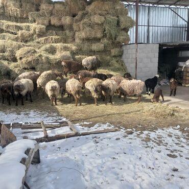 Продаю | Овца (самка) | Гиссарская | Для разведения