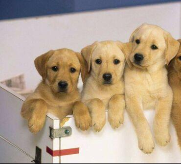 Για σκύλους - Αθήνα: Labradorpuppies έτοιμα για ένα νέο και στοργικό σπίτι Αρσενικά και θηλ