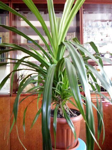 растение-комнатная в Кыргызстан: Продам цветы. Большие. Пальма пандаус (больше метра) Денежное дерево