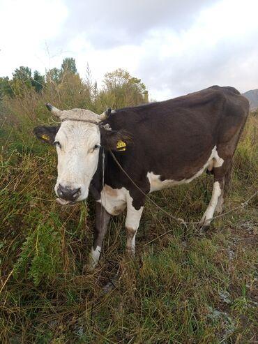 55 объявлений | ЖИВОТНЫЕ: Продаю | Корова (самка) | Для разведения, Для молока | Стельные