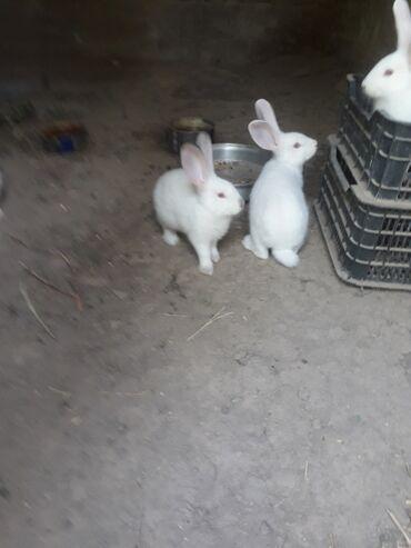 62 объявлений: Крольчата по 2 месяца. Самец Великан из России. Самка Калифорния