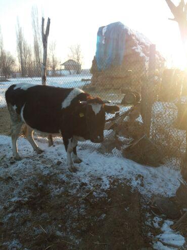 buick le sabre 3 8 at в Кыргызстан: Продаю малодую карову стельная 6 месяцев будит 3 отёлам Адрес
