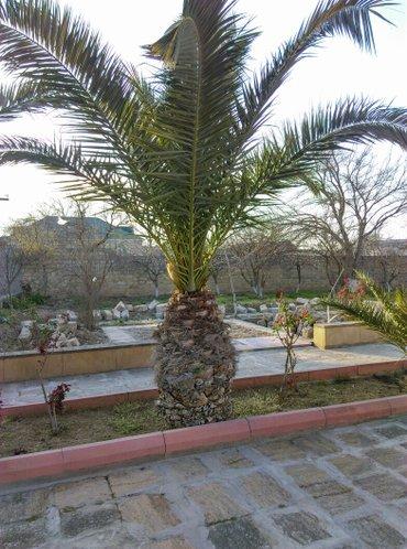 Bakı şəhərində Palma feniks 2 si 20 illik bitkidi  kökün uzunluqu 175 sm.