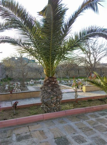 Palma feniks 2 si 20 illik bitkidi  kökün uzunluqu 175 sm. 1 i 9 in Bakı